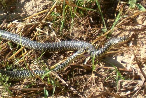 serpe
