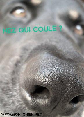 chien nez qui coule