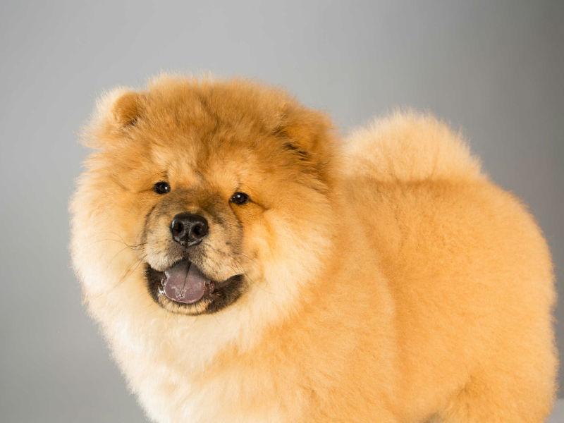 chow dog