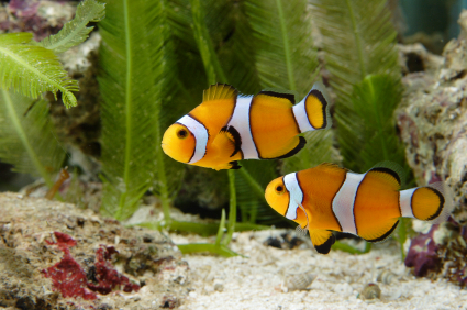 poisson clown aquarium